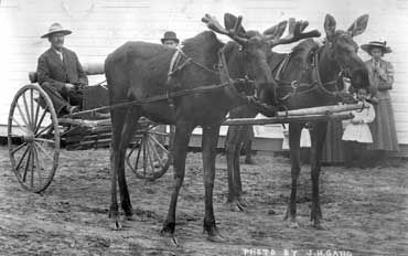 This moose team belonged to W.R. (Billy/Buffalo Bill) Day. They were found by a Metis near Baptiste Lake in 1910 and were reared by bottle and broken to drive by Mr. Day at Athabasca Landing during the winter of 1910. Mr. Day and the moose team hauled mail and supplies.